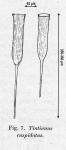 Original drawing of form known as Rhabdonella  cuspidata in Kofoid & Campbell 1929