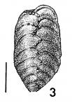 Bolivinella virgata Cushman