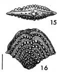 Nodobolivinella palmerae Hayward HOLOTYPE