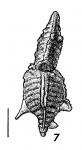 Punctobolivinella gibsoni HOLOTYPE