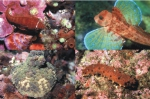 Lepadogaster candollei -  Chelidonichthys lastoviza - Alicia mirabilis - Holothuria tubulosa