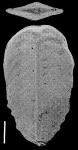 Bolivinella australis Cushman TOPOTYPE
