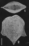 Inflatobolivinella alata (Cushman & Bermudez)