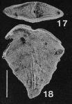 Inflatobolivinella miocenica Hayward HOLOTYPE