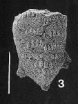 Nodobolivinella glenysae Hayward PARATYPE, author: Hayward, Bruce