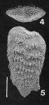 Nodobolivinella glenysae Hayward PARATYPE