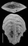 Inflatobolivinella robusta Hayward PARATYPE