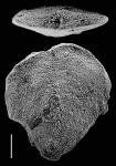 Inflatobolivinella laevigata Hayward HOLOTYPE