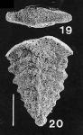 Rhombobolivinella sztrakosi Hayward PARATYPE