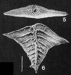 Rugobolivinella elegans (Parr)