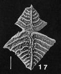 Rugobolivinella elegans (Parr) plastagammic pair