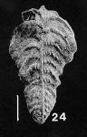 Bolivinella margaritacea (Cushman)