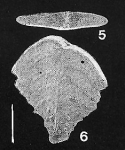 Rugobolivinella poignantae Hayward PARATYPE