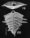 Bolivinella spinosa Hayward PARATYPE