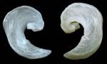 Philinopsis miqueli Pelorce, Horst & Hoarau, 2013Intrnal shell of a paratype from La Ciotat (Mediterranean coast of France), Calanque de Figuerolles, -5 m, mixed bottom with sand, rocks and algal turf.,