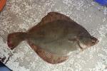 Pladijs - Pleuronectes platessa