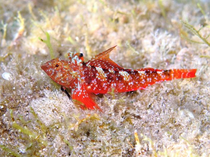 Tripterygion tripteronotum (male)