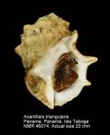Acanthais triangularis