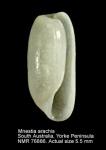 Adamnestia arachis