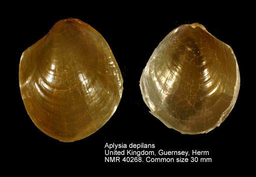 Aplysia depilans