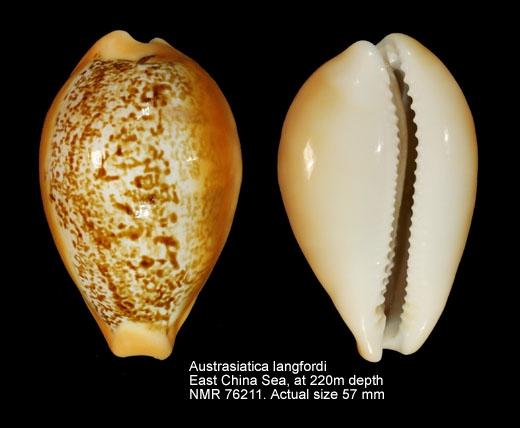 Austrasiatica langfordi