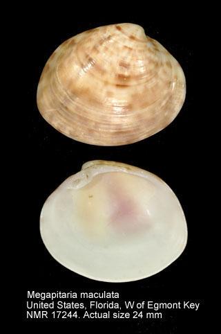 Megapitaria maculata