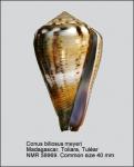 Conus biliosus meyeri