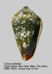 Conus calhetae