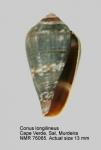 Conus longilineus