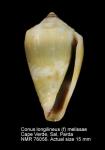 Conus melissae