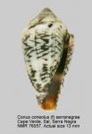 Conus serranegrae