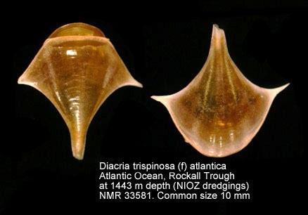 Diacria trispinosa
