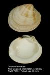 Dosina mactracea