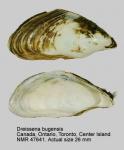 Dreissena bugensis