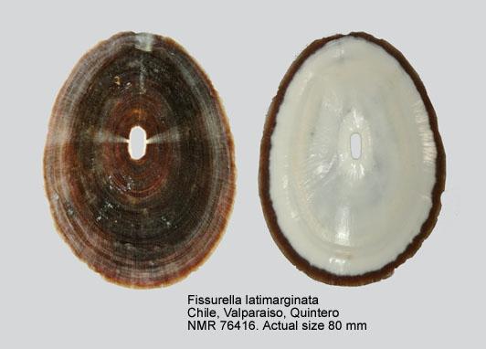 Fissurella latimarginata