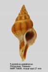 Fusolatirus paetelianus