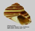 Gibbula zonata