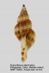Granulifusus staminatus