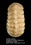 Hanleyidae