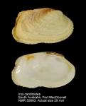 Irus carditoides