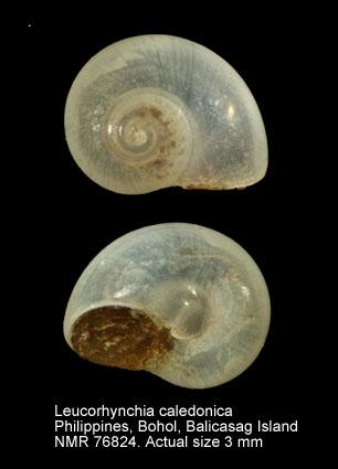 Leucorhynchia caledonica