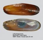 Lithophaga teres
