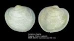 Loripinus fragilis