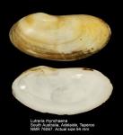 Lutraria rhynchaena