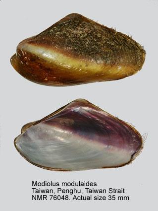 Modiolus modulaides