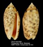 Oliva maculata
