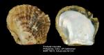 Pinctada maculata