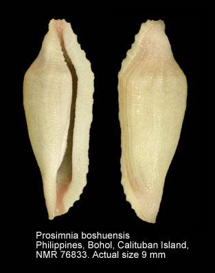 Prosimnia boshuensis