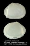Tellinidae