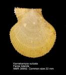 Pseudamussium sulcatum
